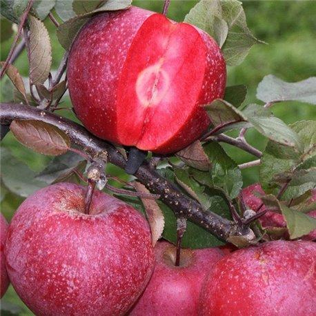 Яблоня красномясая Джеромини