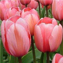 Тюльпан класичний Дарвіна Design Impression 3 цибулини