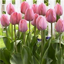 Тюльпан класичний Дарвіна Mystic Van Eijk 3 цибулини