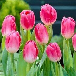 Тюльпан тріумф Dynasty 3 цибулини
