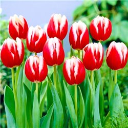 Тюльпан триумф Leen Van Den Mark 3 луковицы