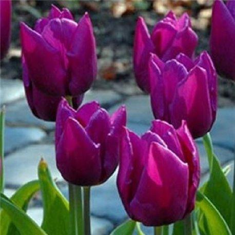 Тюльпан триумф Purple Prince 3 луковицы