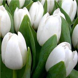 Тюльпан тріумф Snow Lady 3 цибулини