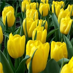 Тюльпан тріумф Strong Gold 3 цибулини