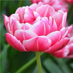 Тюльпан махровий Columbus 3 цибулини
