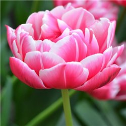 Тюльпан махровый Columbus 3 луковицы