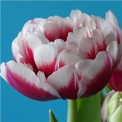 Тюльпан махровий Donato 3 цибулини