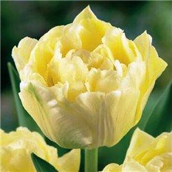 Тюльпан махровый Verona 3 луковицы