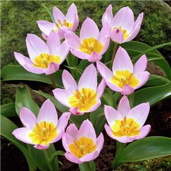 Тюльпан ботанічний ранній Lilac Wonder 4 цибулини