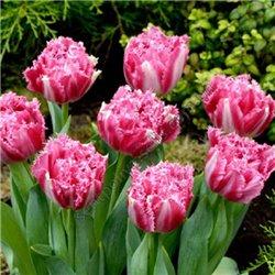 Тюльпан бахромчатый махровый Crisspion Love 3 луковицы