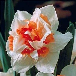 Нарцисс крупнокорончатый Candy Princess 1 луковица