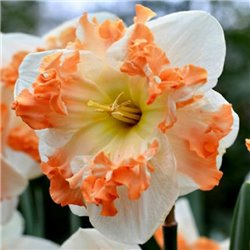 Нарцисс сплит-корона Sunny Girlfriend 1 луковица