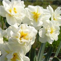 Нарцисс ботанический многоцветковый Cherfulness 1 луковица