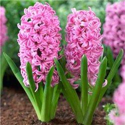 Гіацинт Pink Pearl 1 цибулина