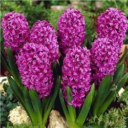 Гіацинт Purple Sensation 1 цибулина