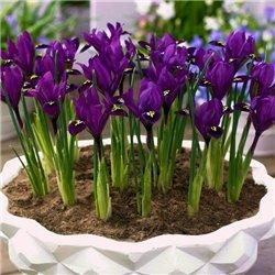 Ирис ранневесенний Purple Hill 3 луковицы