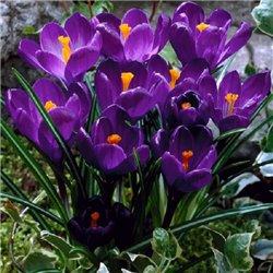 Крокус крупноцветковый Flower Record 4 луковицы