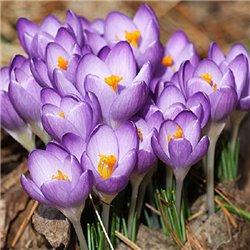 Крокус ранньовесняний ботанічний Barrs Purple 6 цибулин