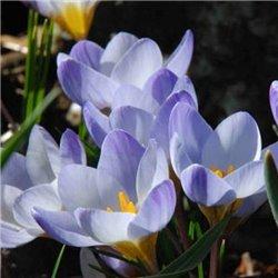 Крокус ранневесенний ботанический Blue Pearl 6 луковиц