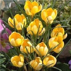 Крокус ранневесенний ботанический Romance 6 луковиц