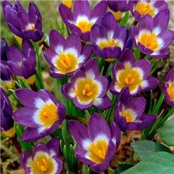 Крокус ранньовесняний ботанічний Tricolor 6 цибулин