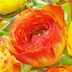 Лютик picotee Orange Yellow 3 луковицы