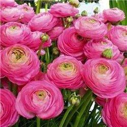 Лютик picotee Pink-White 3 цибулини