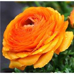 Лютик tomer Orange 3 цибулини