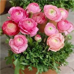 Лютик tomer Pink 3 луковицы