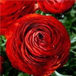 Лютик tomer Red 3 цибулини
