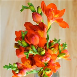 Фрезия махровая Orange 4 луковицы