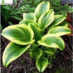 Хоста Aureomarginata 1 рослина