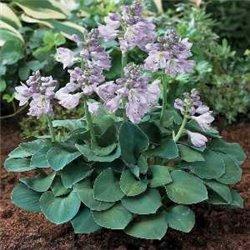 Хоста Blue Mouse Ears1 рослина