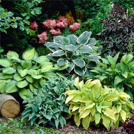 Хоста смесь сортов 5 растений
