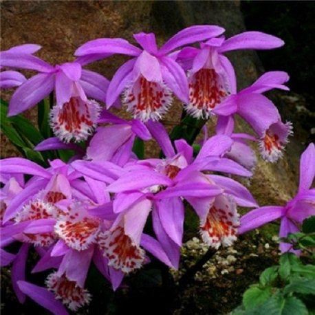 Орхидея Pleione Formosana 1 растение