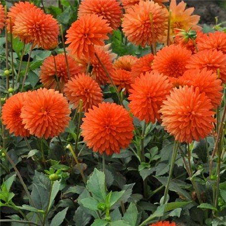 Георгіна бордюрна Jewel Orange 1 штука