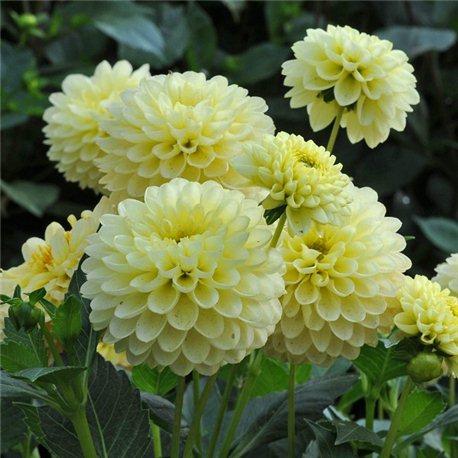 Георгіна бордюрна Jewel Yellow 1 штука