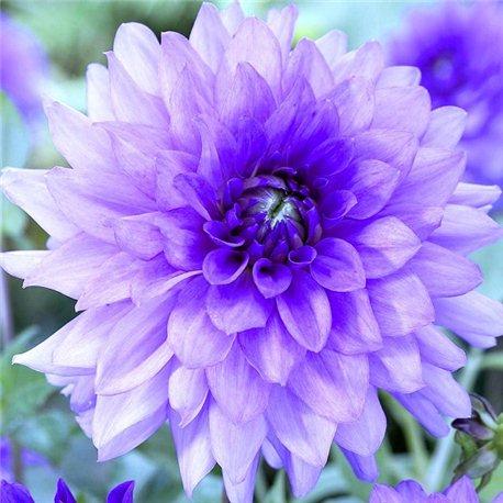 Георгіна декоративна Blue Boy 1 штука