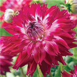 Георгина декоративная крупноцветковая Fantaste du Cape 1 штука