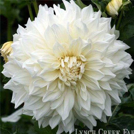 Георгіна декоративна великоквіткова Hakuyou 1 штука