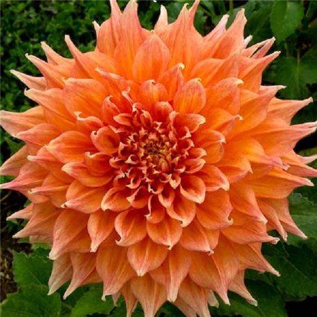 Георгіна декоративна великоквіткова Hart's Dr. McMurray 1 штука