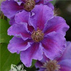 Клематис Ashva (двухлетнее растение в контейнере)