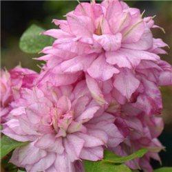 Клематис Innocent Glance (дворічна рослина в контейнері)