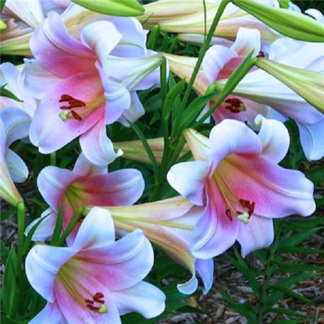 Лилия лонгифлорум Bellsong 3 луковицы