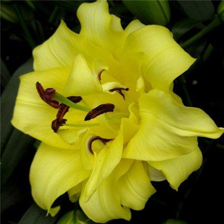 Лілія махрова О.Т. гібрид Exotic Sun 1 цибулина