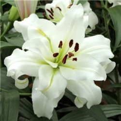 Лилия махровая О.Т. гибрид White Eyes 1 луковица