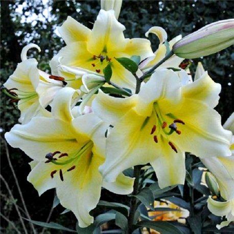 Лілія О.Т. гібрид Conca d`or 3 цибулини