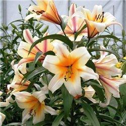 Лілія О.Т. гібрид Garden Affaire 1 цибулина