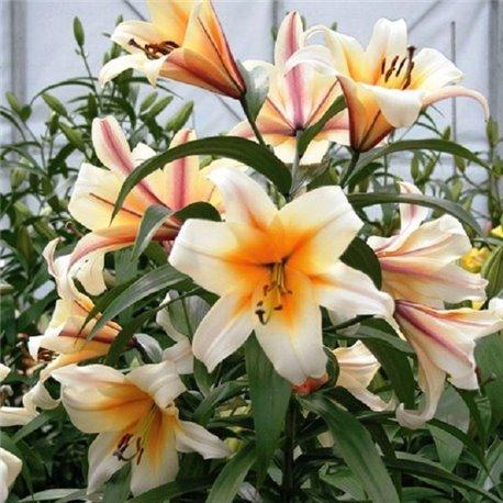 Лілія О.Т. гібрид Garden Affaire 3 цибулини