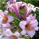 Лилия трубчатая Pink Planet 3 луковицы